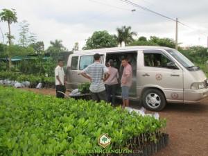 Cây Điều Ấn Độ PN1, Cây Xanh Gia Nguyễn, Cây cà phê, Cây bơ sáp, Vườn ươm Gia Nguyễn