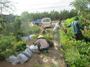 Cây Xanh Gia Nguyễn, Cây giống lâm nghiệp, Trái cây miền Nam, Vườn ươm Gia Nguyễn, Cây công trình