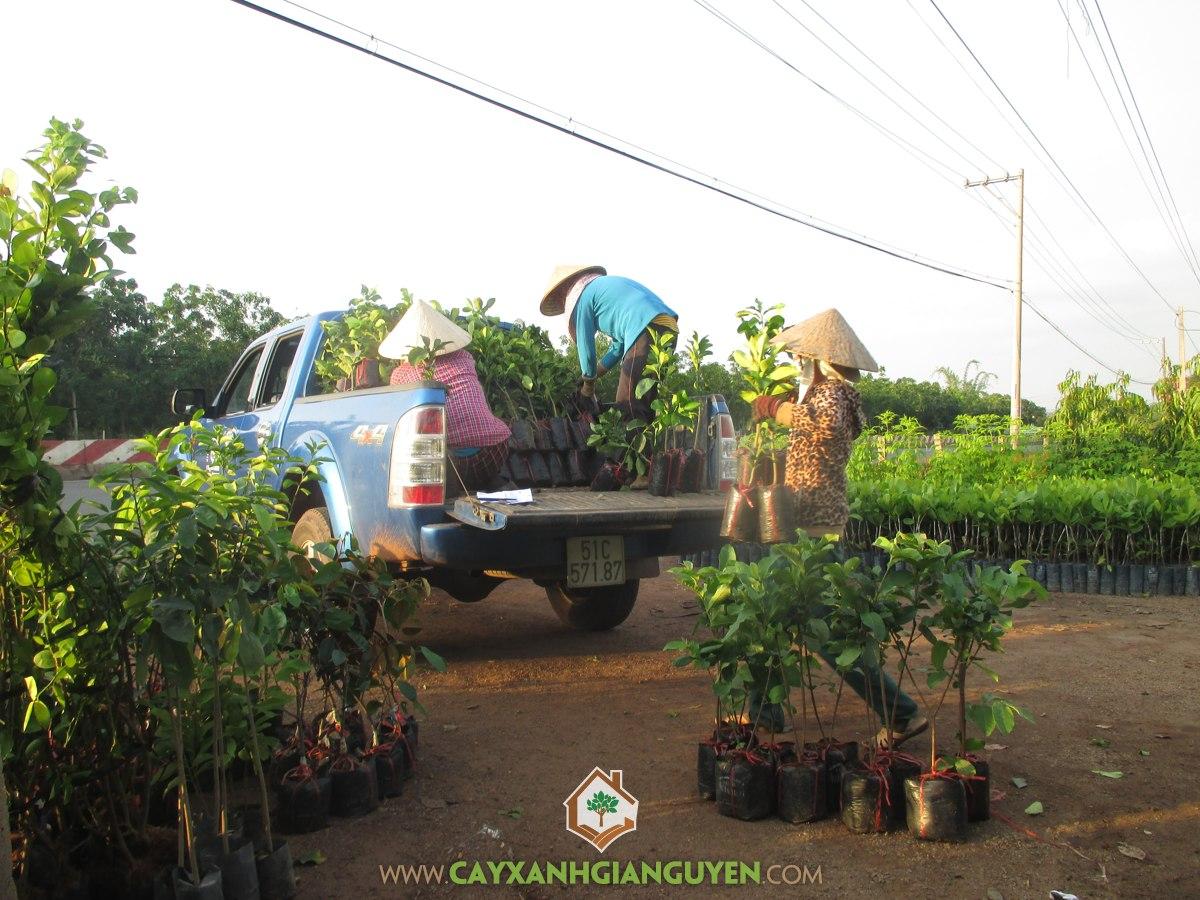 Cây ăn trái, Vườn cây ăn trái, Sầu riêng, Cây quýt đường, Cây Bưởi Da Xanh