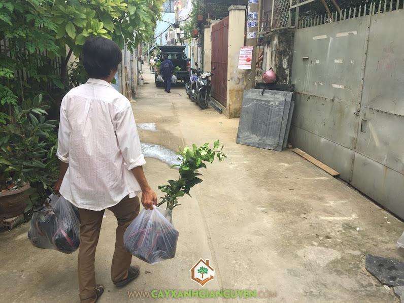 Cây giống, Vườn ươm Gia Nguyễn, Cây ăn trái, Cây cảnh quan, Cây Dừa Xiêm Lùn