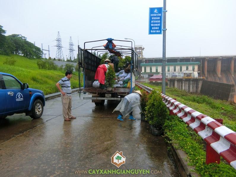 Cây Xanh Gia Nguyễn, Cây Bàng Đài Loan, Giống cây Hồng Lộc, Hồng Bụi, Cây che bóng mát