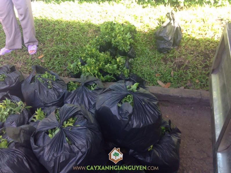 Cây chuỗi ngọc vàng, Vườn ươm Cây Xanh Gia Nguyễn, Giống cây chuỗi ngọc vàng, Thảo cầm viên Sài Gòn, Hàng rào cây chuỗi ngọc