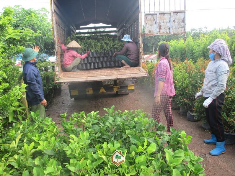Cây bưởi da xanh, Vườn ươm cây xanh Gia Nguyễn, Khu du lịch sinh thái, Trồng cây bưởi da xanh, Vườn cây ăn trái
