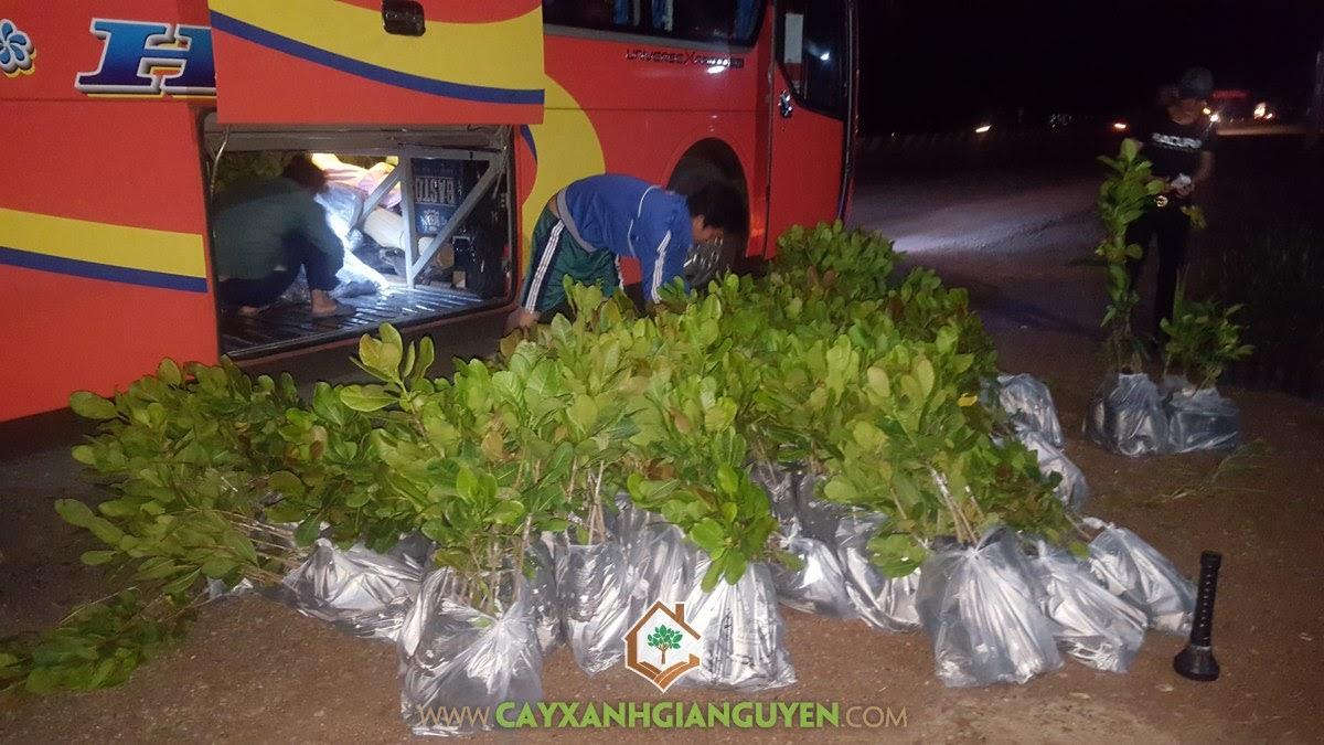 Cây Xanh Gia Nguyễn, Cây cafe, Cây hồ tiêu, Cây sầu riêng ri6, Cây dừa xiêm lùn