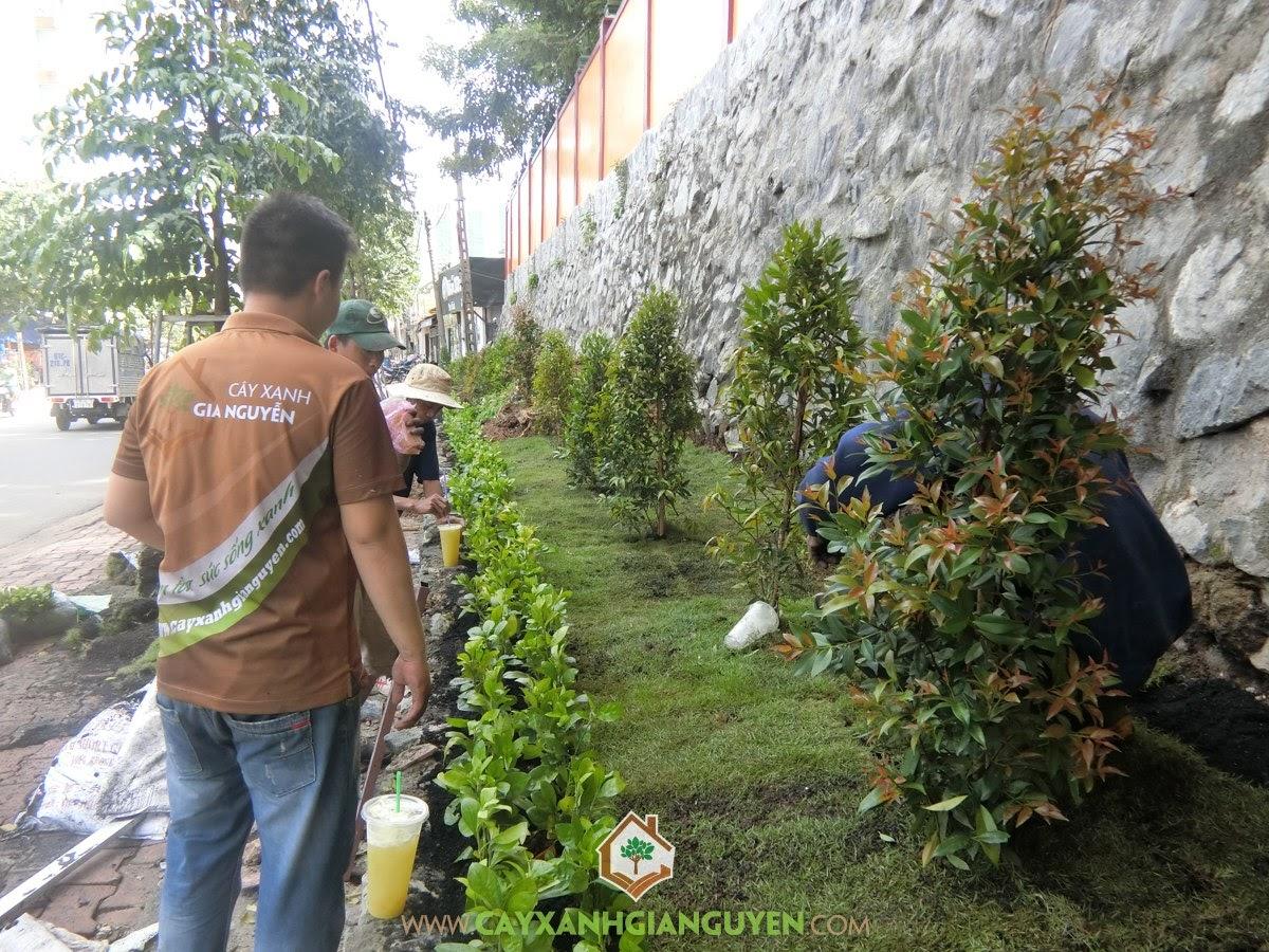 Cây Hồng Lộc, Cây Hắc Ó, Cỏ Nhung Nhật, Vườn ươm Gia Nguyễn, Cách chăm sóc cây
