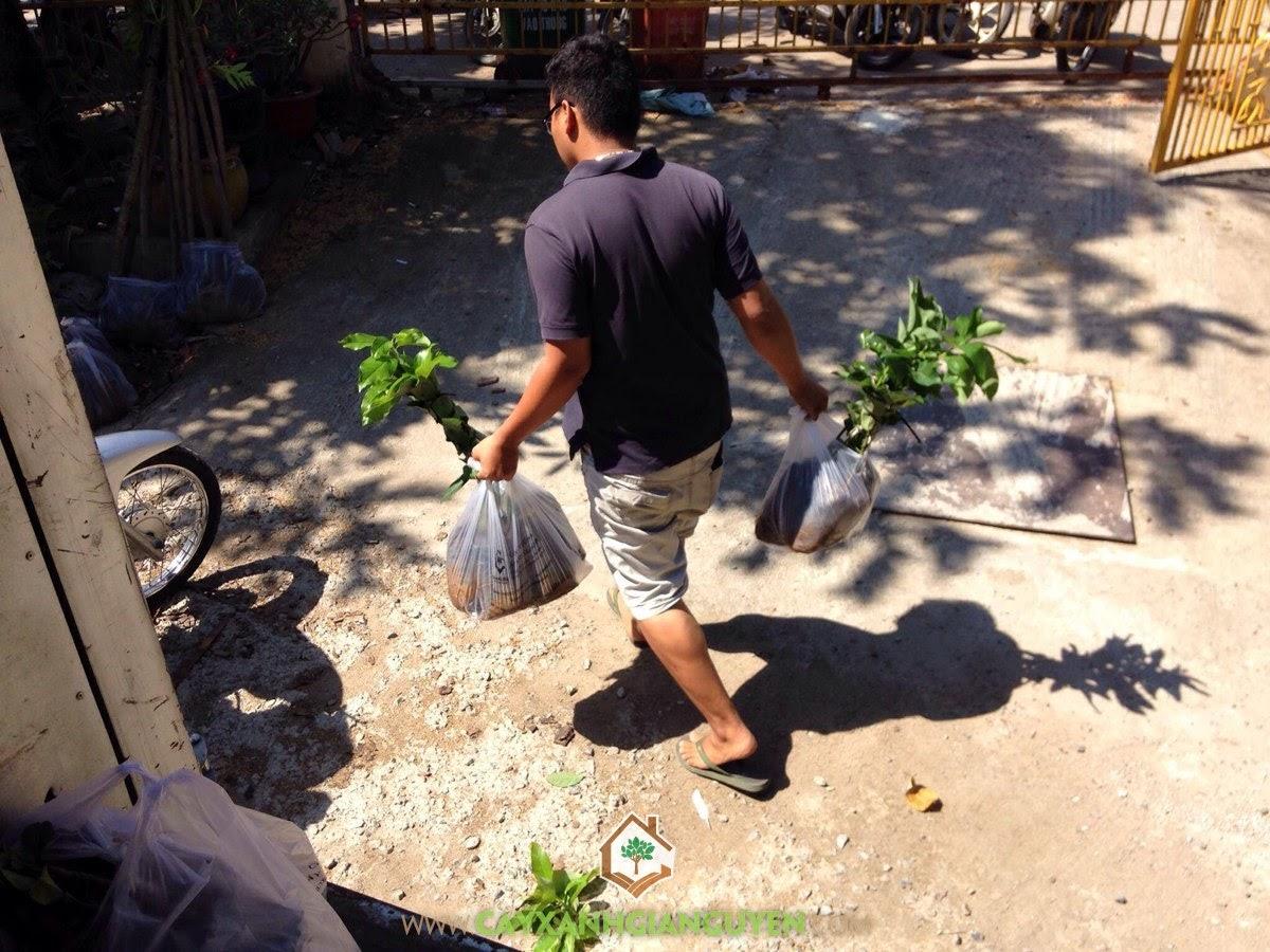 Cây xanh Gia Nguyễn, Cây Bơ Sáp Da Xanh, Cây Sa Kê, Cây Xanh, Cây Ăn Trái