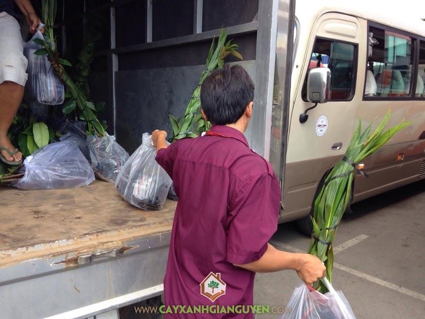 Cây ăn trái, Vườn ươm Gia Nguyễn, Cây chôm chôm thái, Cây cóc thái, Cây mãng cầu xiêm thái