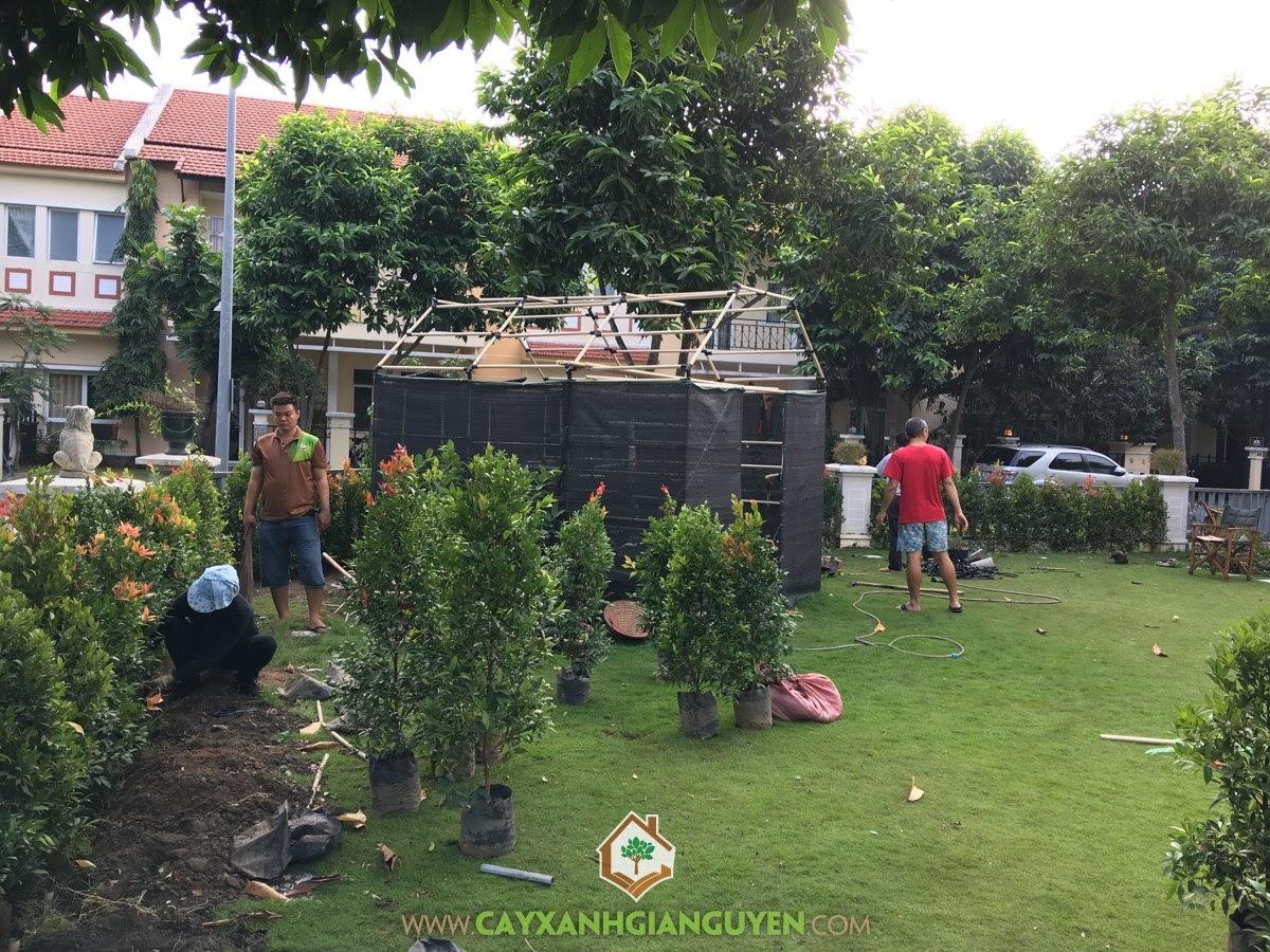 Cây Hồng Lộc, Vườn Ươm Gia Nguyễn, Cây Cảnh, Giống Cây, Hồng Lộc