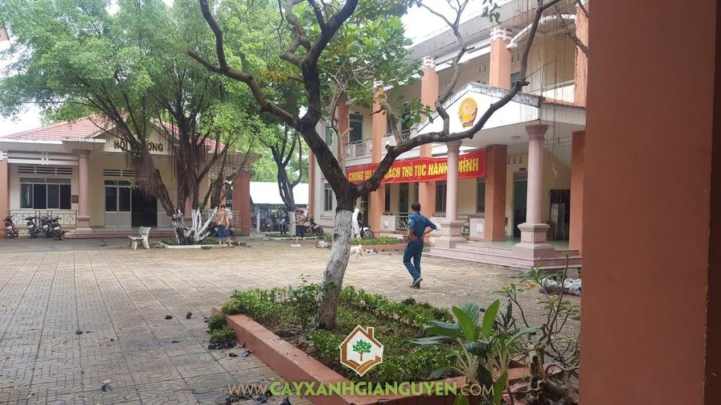 Vườn ươm Cây Xanh Gia Nguyễn, Cỏ Đậu Phộng, Cây Dền Đỏ, Cây Hắc Ó, Giống Cây Ngoại Cảnh