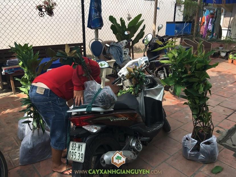 Cây Ăn Trái, Vườn ươm Cây Xanh Gia Nguyễn, Cây Vú Sữa Lò Rèn, Cây Bưởi Da Xanh, Cây Cam Sành