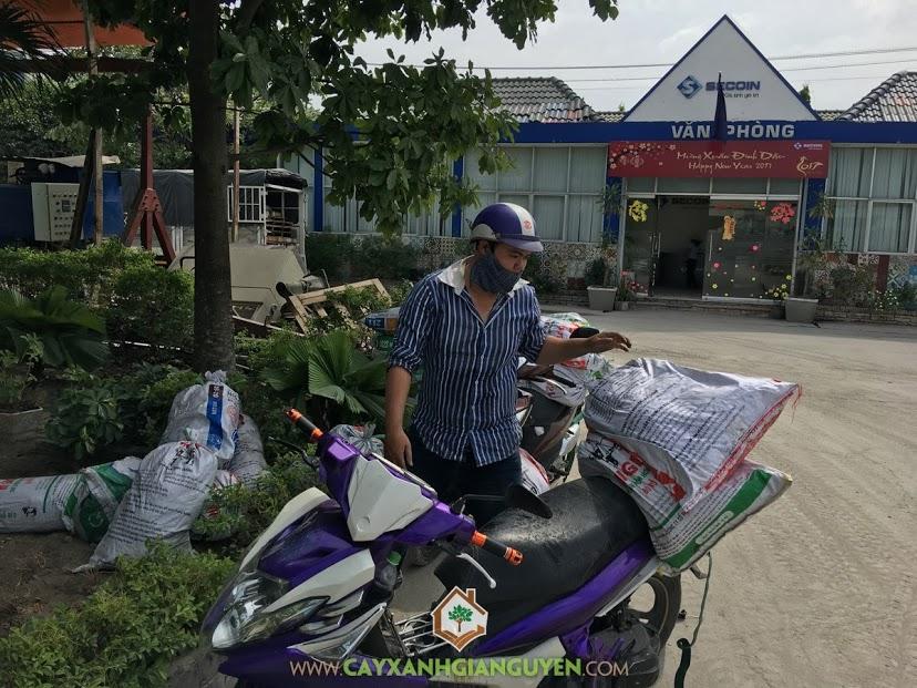 Cây Xanh Gia Nguyễn, Cỏ lá gừng, Vườn ươm Cây Xanh Gia Nguyễn, Cây cỏ công trình, Cách chăm sóc