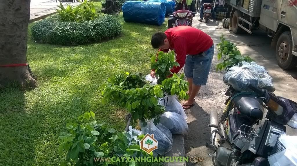 Cây Xanh Gia Nguyễn, Cây ăn trái, Gỗ giáng hương, Giáng Hương, Cây Giáng Hương, Cây bóng mát