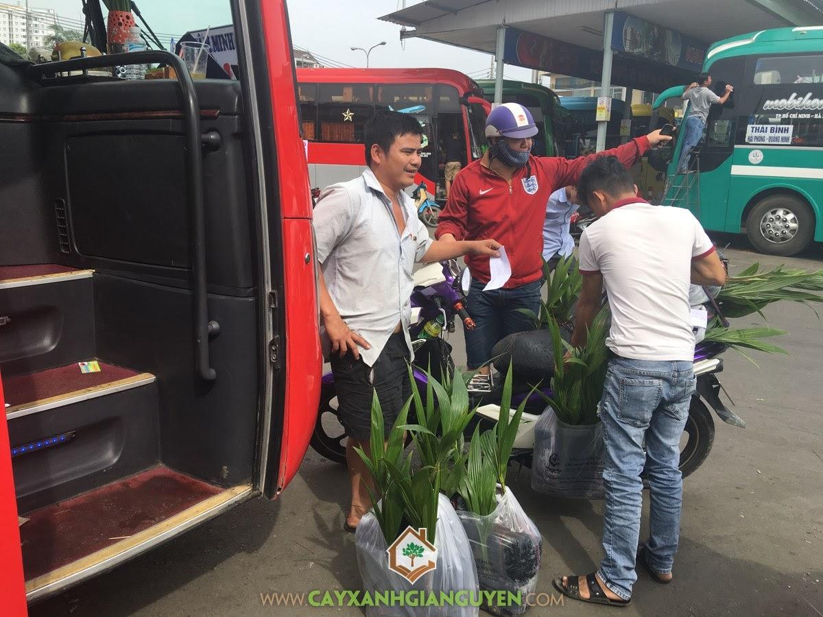 Cây Xanh Gia Nguyễn, Cây Dừa Xiêm Lùn, Giống Cây Dừa Xiêm Lùn, Cây Ăn Trái, Kỹ thuật chăm sóc Cây Dừa Xiêm Lùn