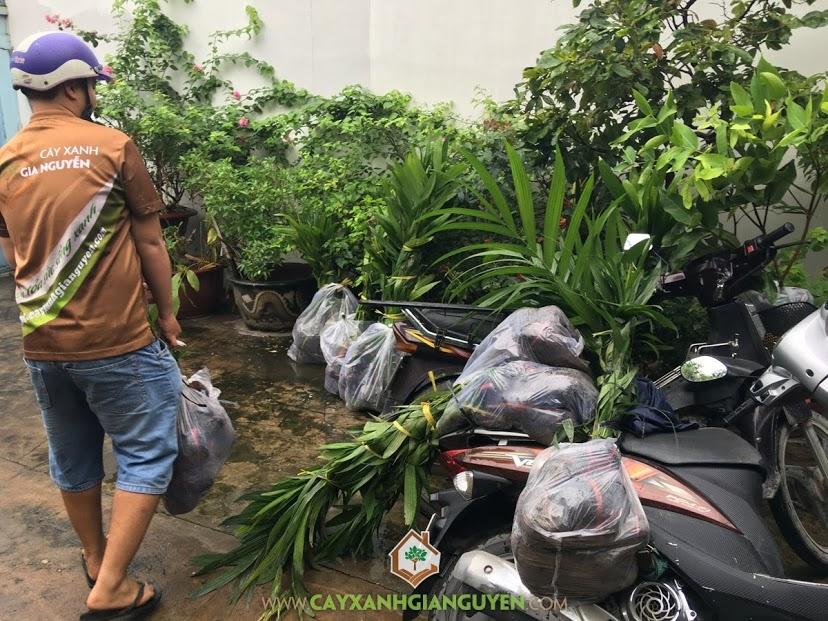 Cây Cau Ăn Trầu, Cây giống, Vườn Ươm Cây Xanh Gia Nguyễn, Cây Ngoại Cảnh, Cây Cau Giống