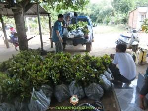 Cây Xanh Gia Nguyễn, Cây gáo vàng, Cây gỗ quý, Rừng cây gỗ quý, Giống cây