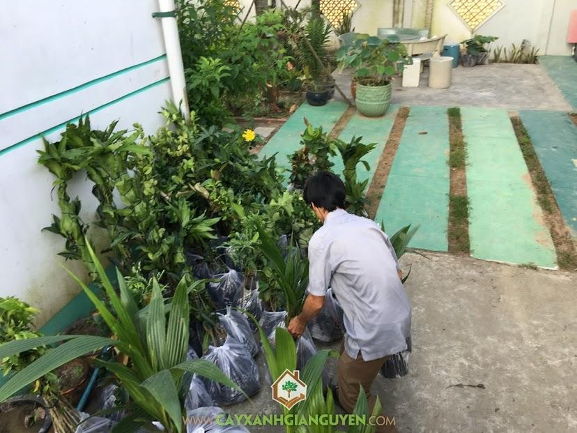 Cây Giống Ăn Trái, Cây Xanh Gia Nguyễn, Kỹ thuật trồng và chăm sóc cây, Trồng Cây Ăn Trái, Cây Vú Sữa Lò Rèn