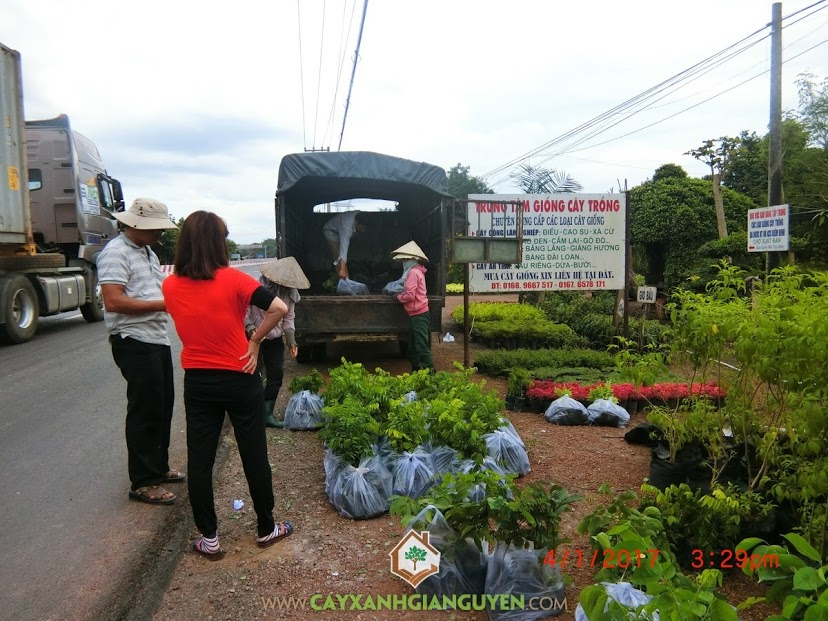 Cây Xanh Gia Nguyễn, Cây giống lâm nghiệp, Rừng cây sưa đỏ, Cây Giáng Hương, Rừng cây lâm nghiệp