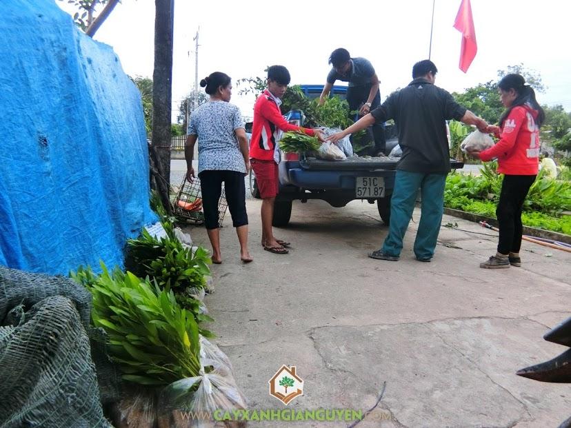 Cây Xanh Gia Nguyễn, Cây Keo Lai, Cây Keo Lai Giống, Trồng Keo Lai, Cây Lâm Nghiệp