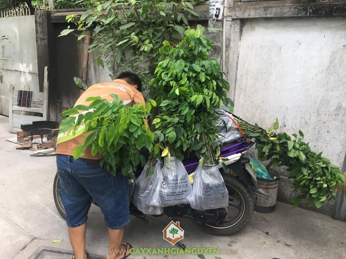 Cây Giáng Hương, Trồng Giáng Hương, Gỗ Giáng Hương, Vườn ươm Cây Xanh Gia Nguyễn, Mua Cây Giáng Hương