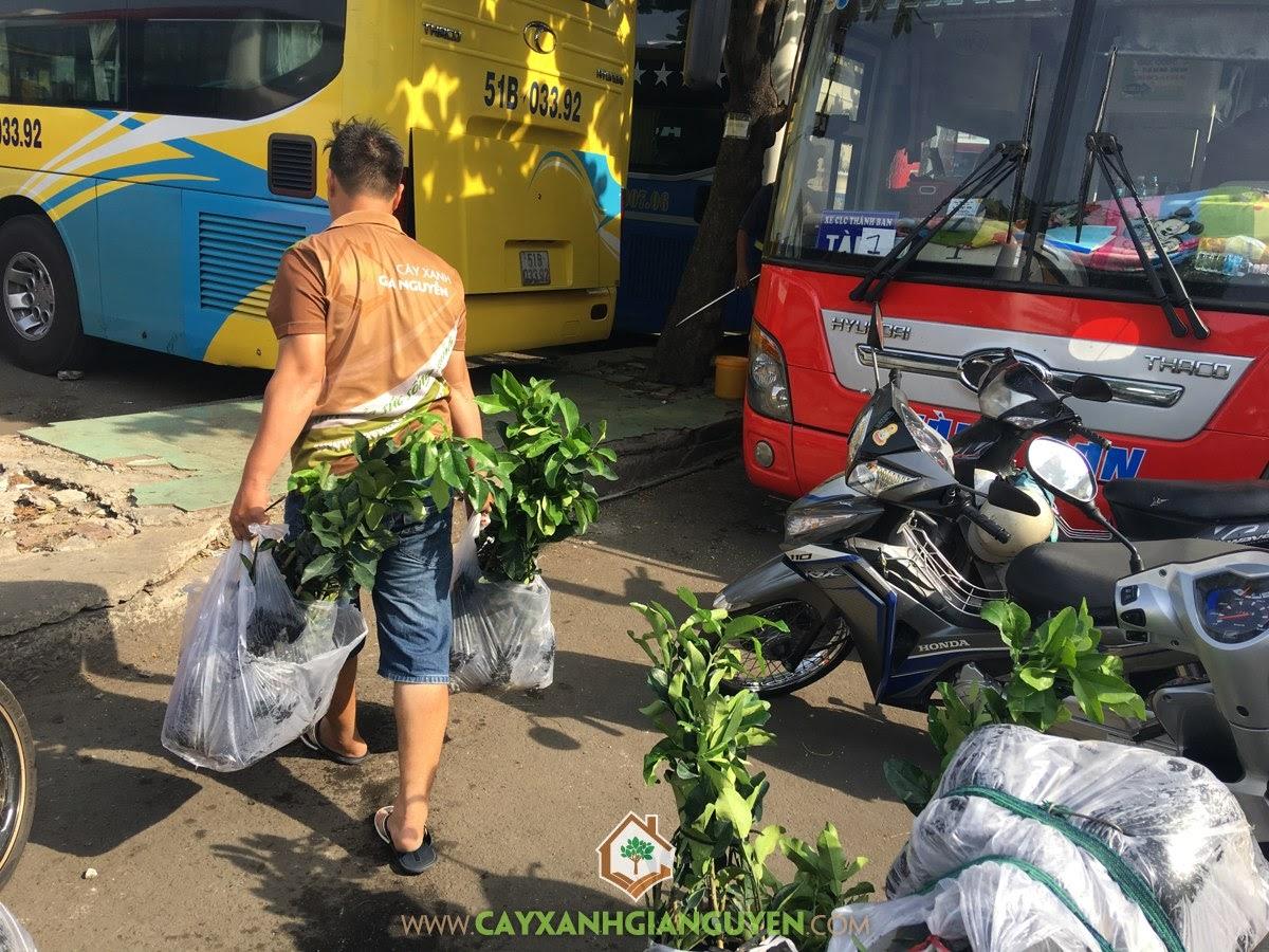 Cây Bưởi Da Xanh, Trồng Cây Bưởi Da Xanh, Vườn ươm Gia Nguyễn, Vườn Bưởi Da Xanh, Bưởi Da Xanh
