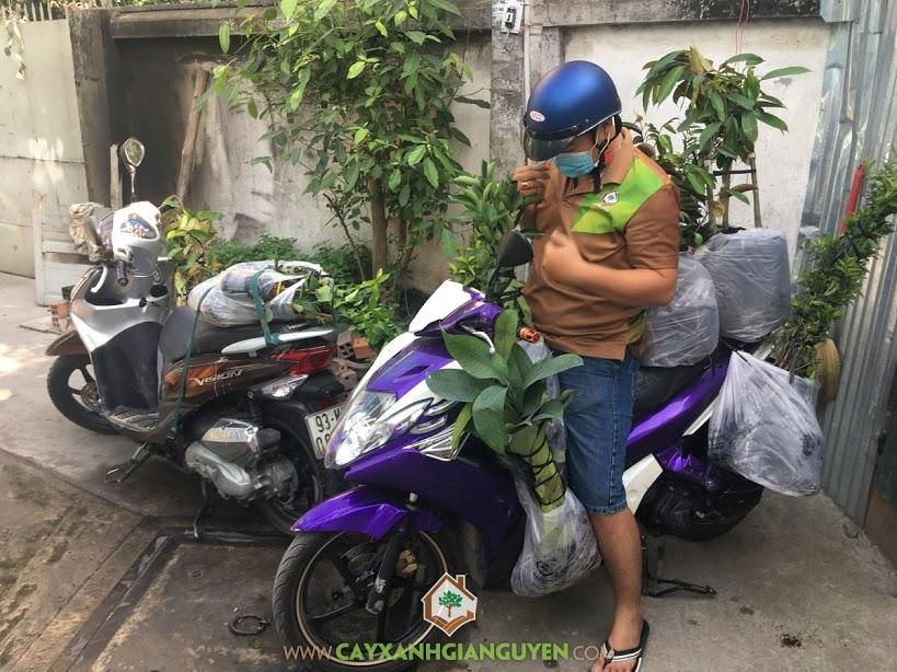 Cây Giống Ăn Trái, Trồng Cây Sầu Riêng Thái, Vườn Cây Ăn Quả, Vườn ươm Gia Nguyễn, Cây Vú Sữa Lò Rèn