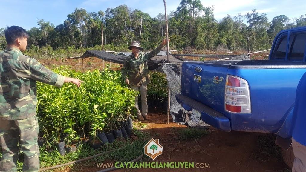 Cây Bưởi Da Xanh, Giống Bưởi Da Xanh, Vườn Bưởi, Vườn ươm Gia Nguyễn, Vườn ươm tỉnh Bình Phước