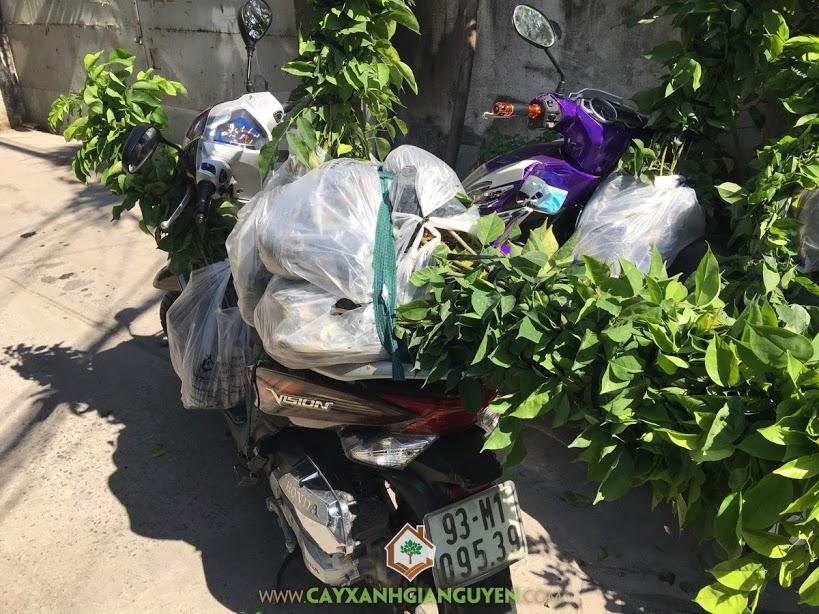 Vườn ươm Cây Xanh Gia Nguyễn, Cây Giáng Hương, Cây Gỗ Giáng Hương, Vườn Cây Giáng Hương, Cây Giáng Hương Giống