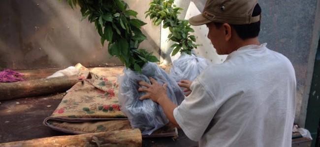 Cây Long Não, Vườn ươm Cây Xanh Gia Nguyễn, Cây Long Não giống, Gỗ của cây Long Não, Cây Hoàng Nam