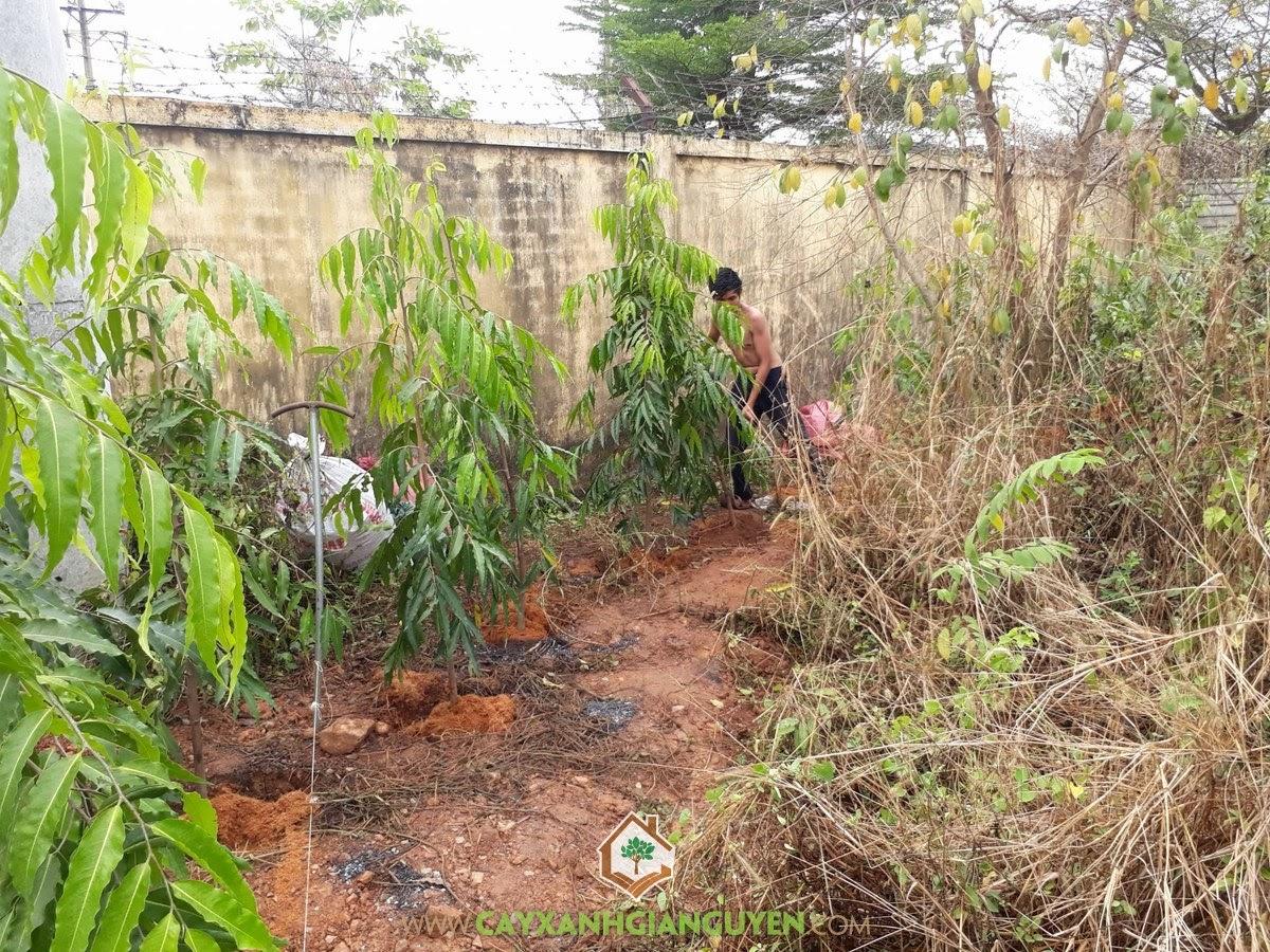 Cây Hoàng Nam, Vườn ươm Cây Xanh Gia Nguyễn, Cây Ngoại Cảnh, Cây Công Trình, Hoàng Nam