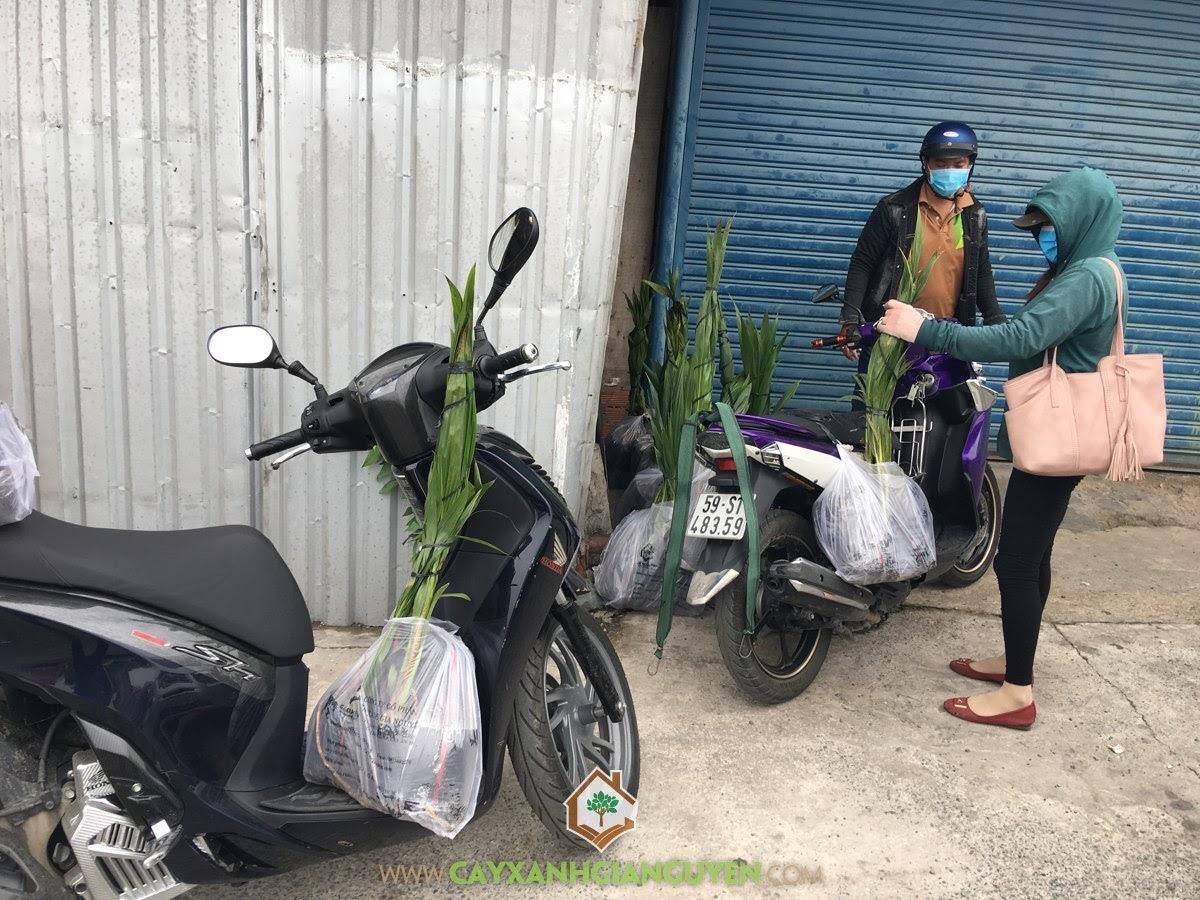 Cây Dừa Xiêm Lùn, Vườn ươm Cây Xanh Gia Nguyễn, Dừa Xiêm Lùn, Cây Ăn Trái, Dừa Xiêm Lùn Giống