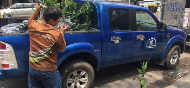 Cây Dừa Xiêm Lùn, Cây dừa giống, Vườn ươm Cây Xanh Gia Nguyễn, Gốc dừa xiêm lùn, Trồng dừa