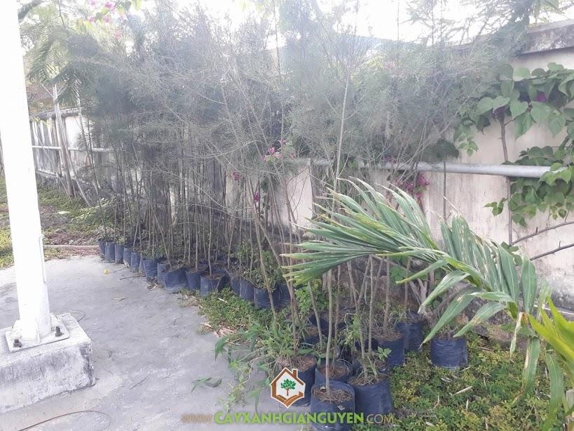 Cây Phi Lao, Vườn ươm Cây Xanh Gia Nguyễn, Cây Bóng Mát, Cây Giống, Cây Dương Liễu