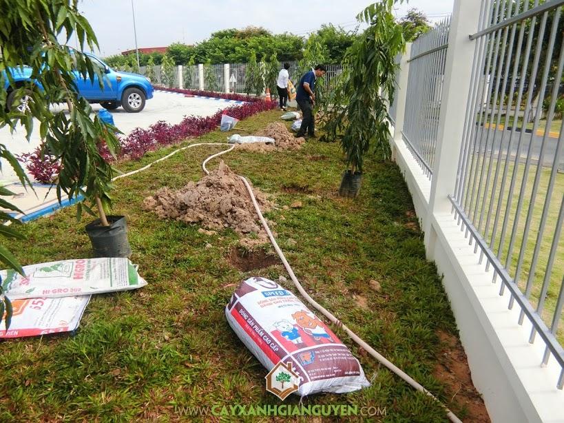 Cây Hoàng Nam, Vườn ươm Cây Xanh Gia Nguyễn, Cây Xanh, Trồng Cây Hoàng Nam, Hoàng Nam Giống
