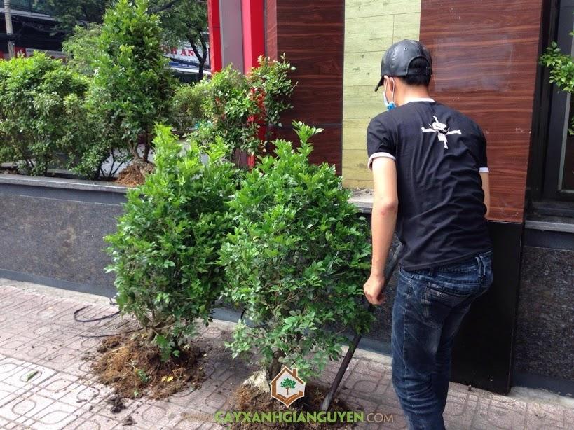 Cây Nguyệt Quế, Cây Hoàng Nam, Cây Hồng Lộc, Vườn ươm Cây Xanh Gia Nguyễn, Cây Công Trình