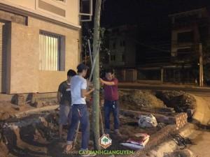 Cây Sanh, Cây Sao Đen, Vườn ươm Cây Xanh Gia Nguyễn, Gỗ cây Sao Đen, Cây cảnh quan
