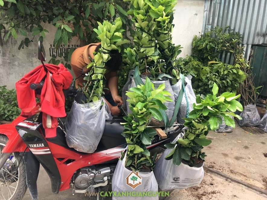 Bưởi Da Xanh, Cây Bưởi Da Xanh, Vườn ươm Cây Xanh Gia Nguyễn, Vườn Bưởi Da Xanh, Trồng Bưởi Da Xanh