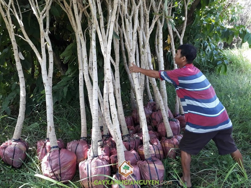 Vườn ươm Cây Xanh Gia Nguyễn, Cây Chuông Vàng, Chăm sóc cây xanh, Cây Bóng Mát, Cây Ngoại Cảnh