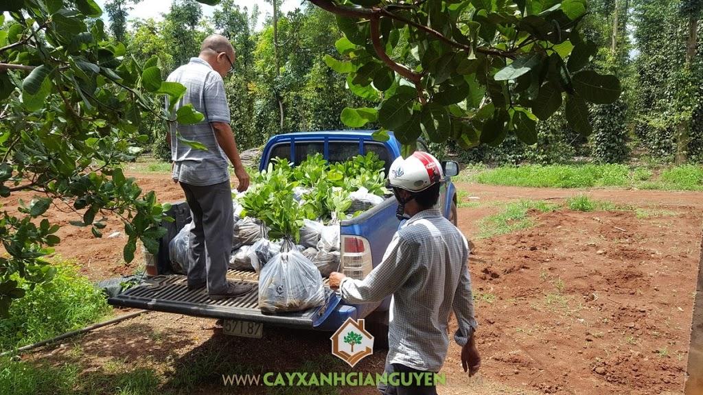 Vườn ươm Cây Xanh Gia Nguyễn, Cây Điều, Giống Điều AB29, Cây Điều AB29, Vườn ươm tỉnh Bình Phước