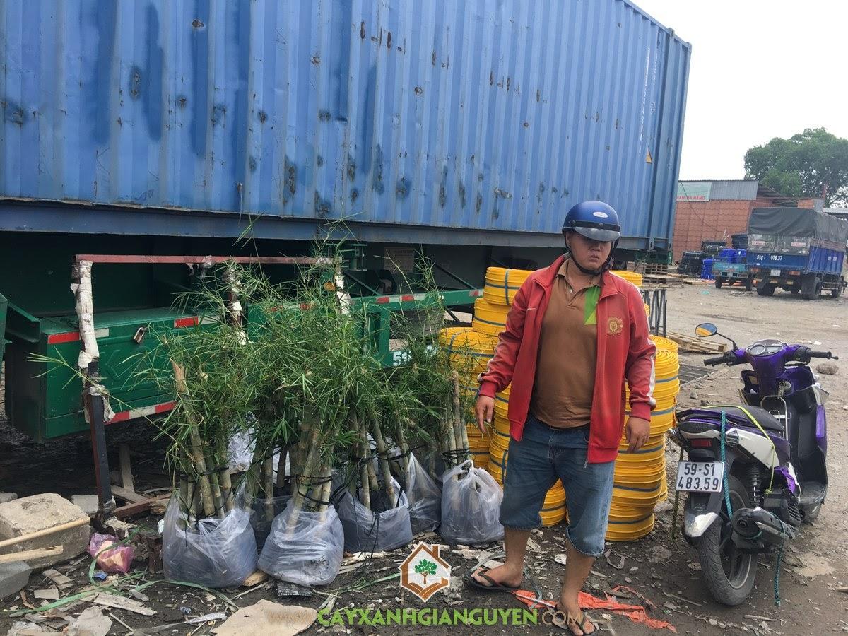 Cây Tầm Vông, Trồng Cây Tầm Vông, Vườn ươm Cây Xanh Gia Nguyễn, Cây giống, Trồng Cây Hồ Tiêu
