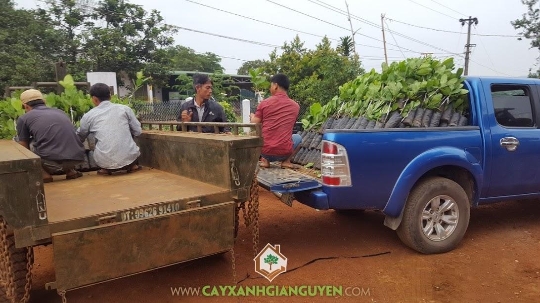 Cây điều, Cây điều Thái Lan giống, Vườn ươm Cây Xanh Gia Nguyễn, Cây điều Thái Lan 0508, Giống điều