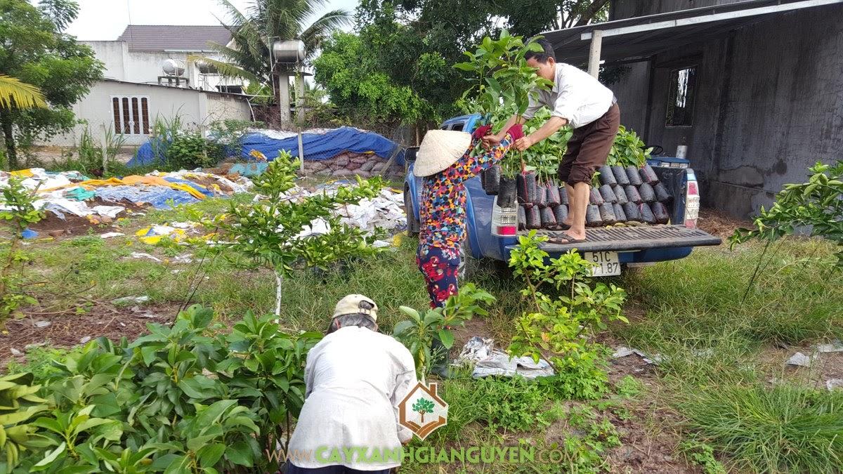 Cây Bơ Booth, Trồng Bơ Booth, Cóc Thái, Xoài Đài Loan, Cây Ăn Trái