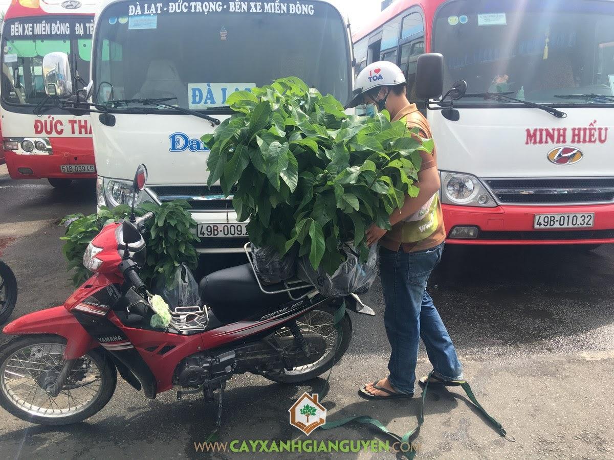 Cây Na Thái, Vườn ươm Cây Xanh Gia Nguyễn, Vườn Na Thái, Cây Na Thái Giống, Giống Na Thái