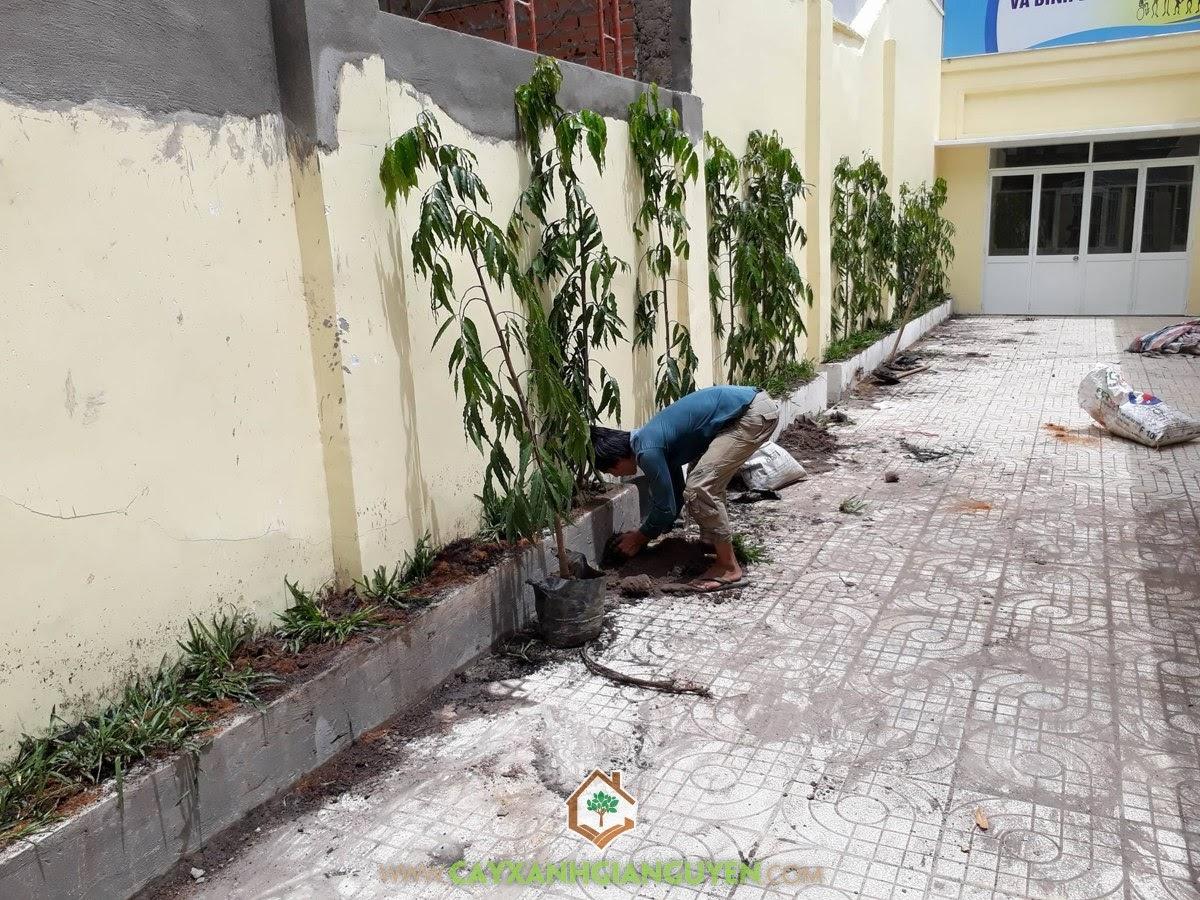 Cây Hoàng Nam, Giống Cây Hoàng Nam, Cây Công Trình, Trồng cây xanh, Vườn ươm Cây Xanh Gia Nguyễn