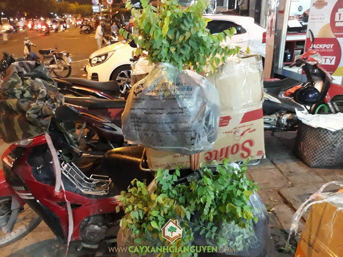 Cây Chùm Ruột, Vườn ươm Cây Xanh Gia Nguyễn, Cây giống, Cây Giống Chùm Ruột, Trồng Chùm Ruột