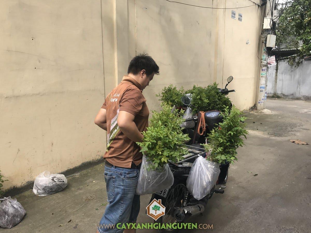 Cây Lát Hoa, Vườn ươm Cây Xanh Gia Nguyễn, Cây Lát Hoa Giống, Rừng Cây Lát Hoa, Gỗ của Cây Lát Hoa