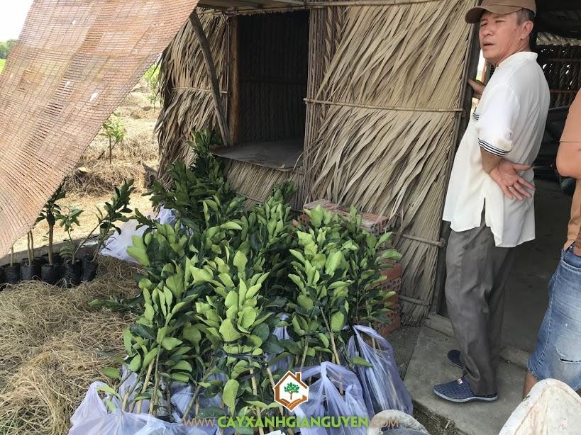 Bưởi Da Xanh, Vườn Bưởi Da Xanh, Cây Bưởi Da Xanh, Vườn ươm Cây Xanh Gia Nguyễn, Giống Cây Ăn Trái