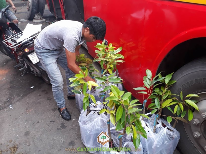 Cây Sầu Riêng Thái MonThong, Cây Sầu Riêng Thái, Vườn ươm Cây Xanh Gia Nguyễn, Vườn Sầu Riêng Thái, Giống Sầu Riêng Thái