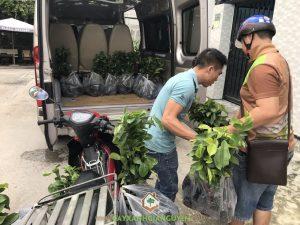 Mãng cầu xiêm thái, Cây mãng cầu xiêm thái, Cây ăn trái, Vườn ươm Cây Xanh Gia Nguyễn, Cây mãng cầu xiêm giống