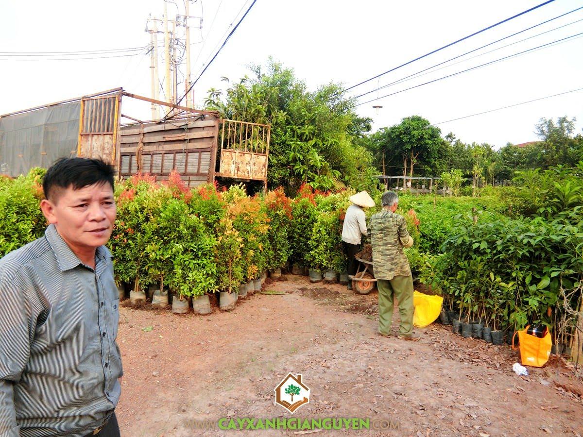 Cây Hồng Lộc, Vườn ươm Cây Xanh Gia Nguyễn, Dự án cây xanh, Cây giống, Hồng Lộc