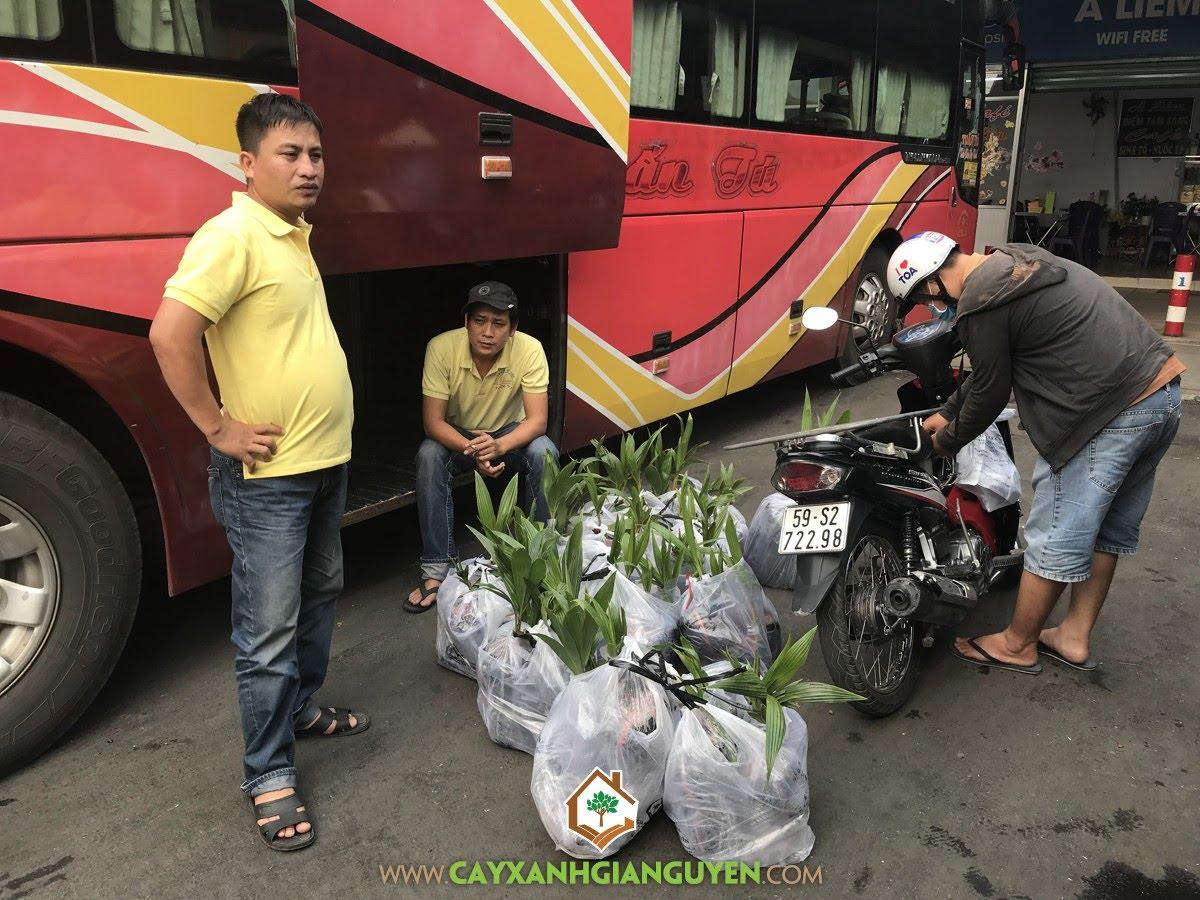 Cây Dừa Xiêm Dây, Cây Dừa Xiêm, Cây Xanh Gia Nguyễn, Vườn Dừa Xiêm Dây, Cây Giống Dừa Xiêm Dây